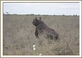 One of the rhinos gets to its feet after its ears are notched