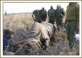An immobilized rhinos horn is measured