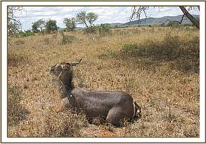 The immobilized second waterbuck