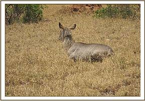 The immobilized third waterbuck with a snare around its neck