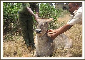 Removing the snare from around the waterbucks neck