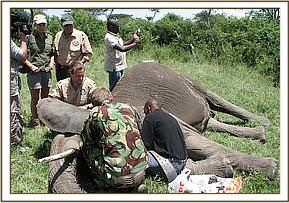 Elephant being collared