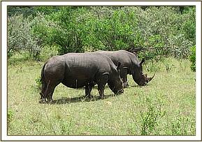 The two rhinos grazing in the field