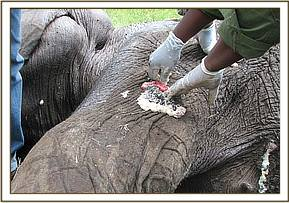The vet cleaning the wound