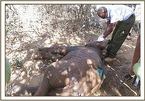 The prognosis for this young elephant is very poor