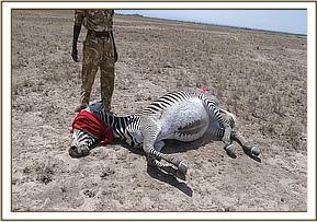 Both zebras were darted for treatment