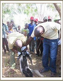 A Colubus monkey is rescued