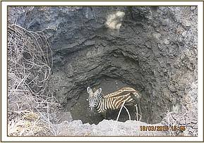 The zebra foal in the dried well