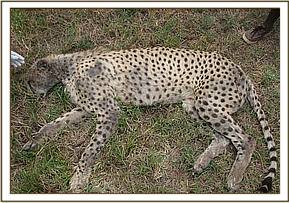 The cheetah before treatment