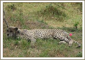 The cheetah is darted