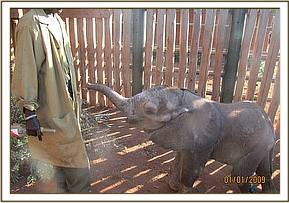 The calf had lost condition and had an injury to the left hind leg