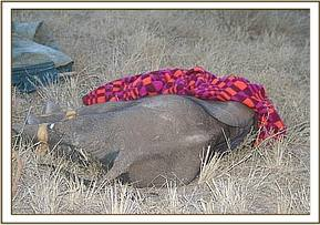 A report was made by tour operators of an elephant calf that was abandoned near Satao