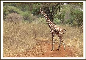 A giraffe showing lameness caused by a debilitating snare on its left hind leg