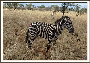 The Vet Unit discovered this injured zebra in Meru national park