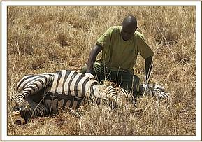 This zebra will regain good health though it will remain lame