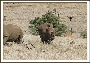a white rhino which showed lameness of its right leg