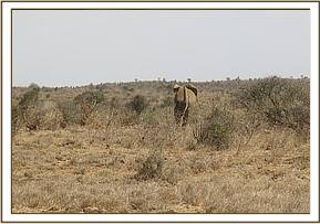an elephant which had a spear penetrating into its left rump