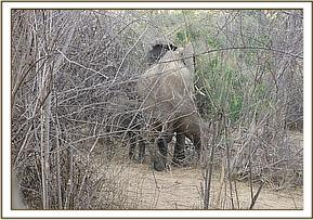 Namunyak conservancy reported lameness in a lactating female elephant