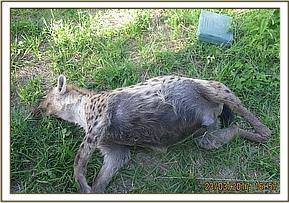This hyena appeared to have been in good body condition before her death
