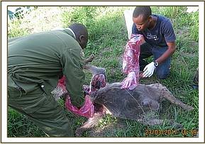 This hyena died of severe intestinal torsion