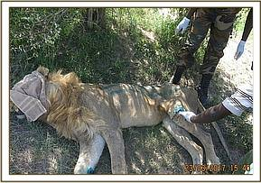 The lion was limping with an injury to one of his hind legs