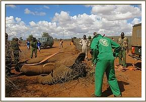 The elephant was turned using straps pulled by a vehicle