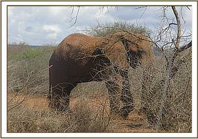 The elephant was darted for assessment and treatment