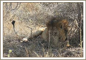 The lion was lying under a small shrub shade and did not respond to our approach