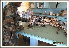 The zebra wounds are examined