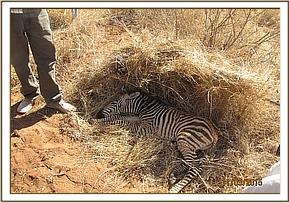 A young zebra is rescued