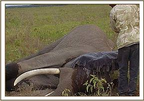 The elephant after being darted