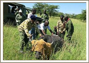 Immobilized buffalo for sampling