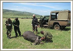Taking a blood sample from a buffalo