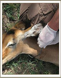 The snare loose around the Impalas neck