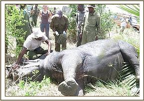 The rhino is darted for treatment of a large cutaneous wound