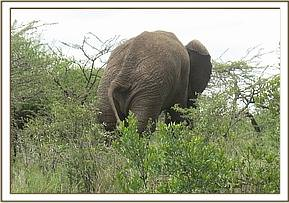 An elephant with a severe limp was seen