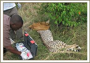 Getting ready to treat the cheetah