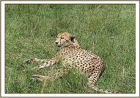 The injured cheetah