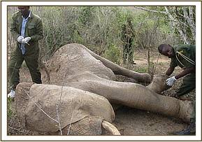 The immobilized wounded elephant