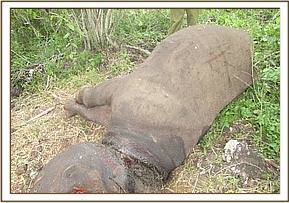 The rhino succumbed to the wound caused by the snare
