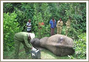 The immobilized elephant after treatment
