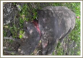 The darted rhino showing the extent of the snare wound