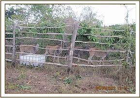 Translocated Elands in an enclosure