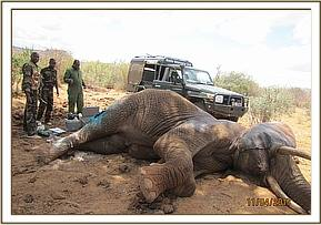 The vet team working on the elephant