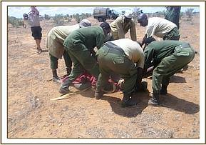 The Vet Unit and DSWT Keepers successfully capture the calf