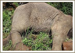 An elephant with a broken leg is euthanised