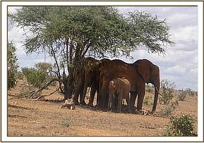An orphan elephant in the company of bulls