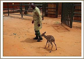 The Kudu is taken to DSWT HQ for hand rearing