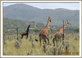 There were reports of giraffes displaying signs of chronic emaciation