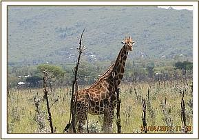 One giraffe was singled out for examination